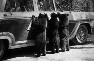 Bear cubs look in to a car window in Yellowstone National Park.