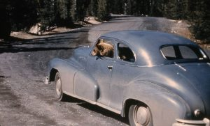 A bear inside a car in Yellowstone National Park.