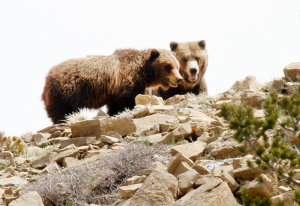 Grizzly bears on a rocky outcrop in Cody/Yellowstone Country.