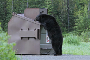 A bear searches a dumpster for food.