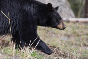 A black bear in Cody/Yellowstone Country.