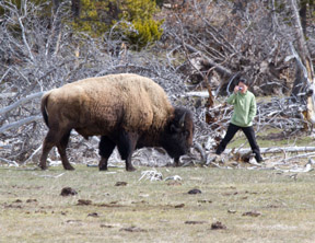 A tourist stands dangerously close to a bison while trying to take a photo.