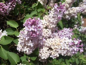 Purple lilacs bloom on a bush in Cody/Yellowstone Country.