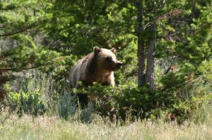 A bear stands in a wooded area in Yellowstone National Park.