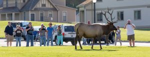 Visitors in Mammoth Hot Springs stand too close to a bull elk.
