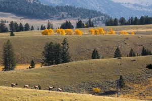 Elk can be found throughout Buffalo Bill's Yellowstone Country as well as the valleys and other locations in Yellowstone National Park.