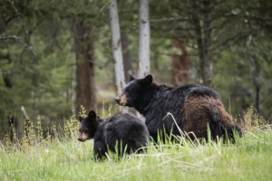 A mother bear forages with her cubs a