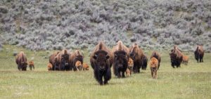 A herd of bison make their way through a green field.