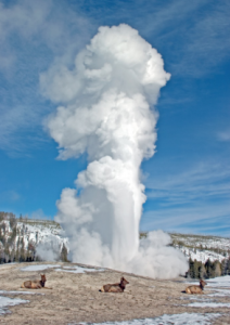 Three deer sit in front of the Old Faithful Geyser as it erupts