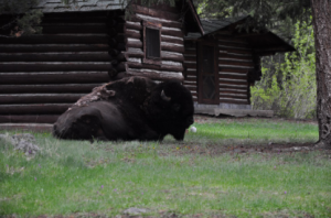A bison sits near a log cabin in Yellowstone National Park