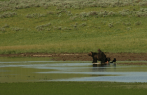 A bear stands in a stream with a cub on its back.