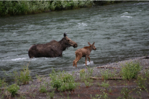 A moose and a baby moose walk together in a stream