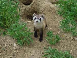 Once thought extinct, black-footed ferrets were found in 1981 on a ranch near Meeteetse.