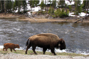 A bison and its baby walk along a riverbank
