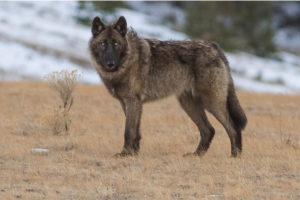 A gray wolf stands in a field on a chilly day