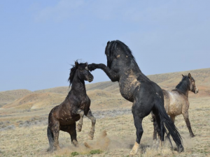 Wild horses play with each other in a field