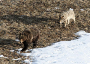 A wolf and a bear walk near one another in the early spring