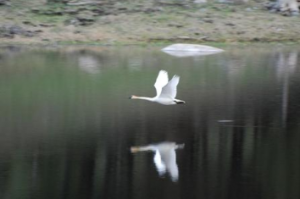 A trumpeter swan takes flight near Cody Yellowstone