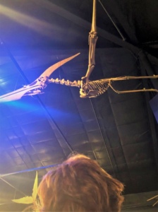 The fossils of a Pteranodon longiceps hanging in a museum